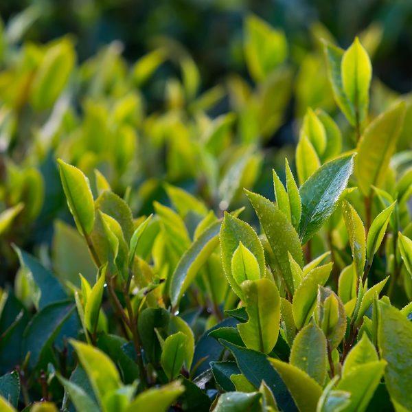 Video: Japanese Green Tea